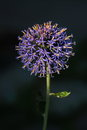 Globe thistle spikey blue ball flower head from a echinops bannaticus blue Royalty Free Stock Photography