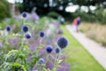 Globe thistles in a garden border with people walking down the path in cornwall england uk Stock Photography