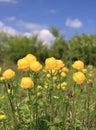 Globeflower Royalty Free Stock Photo