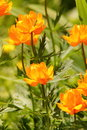 Globeflower flower blooming in the summer garden Royalty Free Stock Photography