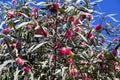 Globular spiky flower of hakea laurina kodjet pincushion or emu bush a west australian native wildflower attracts native birds and Royalty Free Stock Image