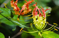 Gloriosa Superba or Climbing Lily flower Royalty Free Stock Photo