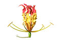 Gloriosa superba Royalty Free Stock Photo