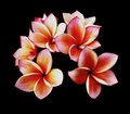 Glorious frangipani or plumeria flowers, Royalty Free Stock Images