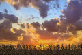 Glorious harvest corn stalks in season are silhouetted by a colorful sunset sky in central indiana Stock Photo
