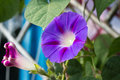 Glorious morning glory green flora Stock Images