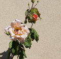Glorious romantic beautiful pale salmon pink fully blown roses blooming in autumn against a cream cement rendered wall add Royalty Free Stock Photo