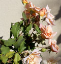 Glorious romantic beautiful pale salmon   pink  fully blown   roses blooming   in autumn. Royalty Free Stock Photo