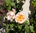 Glorious romantic beautiful pale salmon pink fully blown roses blooming in autumn against a cream cement rendered wall add Royalty Free Stock Image