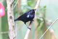 Glossy flowerpiercer diglossa lafresnayii in yanacocha resorve ecuador Royalty Free Stock Photo