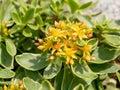 Glossy Green StonecropSedum kamtschaticum ** Note- Shallow dep
