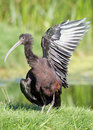 Glossy Ibis Stock Photo