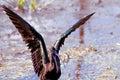 Glossy ibis bathing in wakodahatchee wetlands in delray beach florida Royalty Free Stock Photo