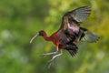 Glossy Ibis In Flight