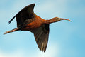 Glossy ibis in flight against a blue sky Royalty Free Stock Photography