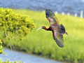 Glossy ibis in flight over the bay Royalty Free Stock Images
