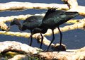 Glossy ibis juveniles plegadis falcinellus two perched on a spatterdock root in the wetlands Stock Photography