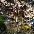 Glossy ibis, Plegadis falcinellus eating a fish