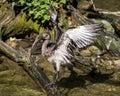 Glossy ibis, Plegadis falcinellus in a german zoo