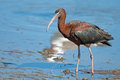 Glossy ibis standing in the marsh Stock Image