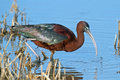 Glossy ibis standing in the marsh Royalty Free Stock Images