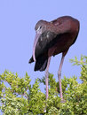Glossy ibis in tree standing on a top Royalty Free Stock Photo