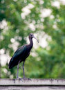 Glossy Ibis in wildlife. Royalty Free Stock Photo