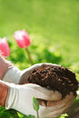 Gloved hands holding garden soil outside Royalty Free Stock Photo