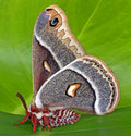 Glovers silk moth silkmoth is a large of the saturniidae family it is found in the rocky mountain states the western parts of the Royalty Free Stock Photos
