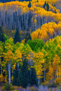 Glowing Aspen Royalty Free Stock Photo