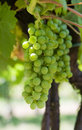 Glowing green wine grapes Stock Image