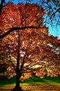 Glowing maples warm colors of in october backlit with the sun in late afternoon Royalty Free Stock Image
