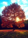 Glowing orange autumn a maple foliage tree Royalty Free Stock Images