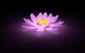 Glowing pink lotus water lily Royalty Free Stock Photo