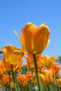 Glowing Tulips Detail Royalty Free Stock Photo