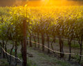 The glowing vines of a Napa vineyard at sunset Royalty Free Stock Photo
