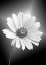 Glowing white daisy close up of a on a black gradient background Royalty Free Stock Photos
