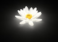 Glowing white lotus flower water lily Royalty Free Stock Photo