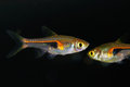 Glowlight rasbora or hengels in aquarium Stock Images