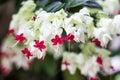 Gloy bower, Bleeding-heart vine flower Royalty Free Stock Photography