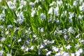 Glória---Neve (forbesii de Chionodoxa) Imagens de Stock Royalty Free