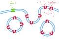 Glucose transport through cell membrane via