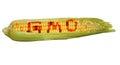 Gmo corn isolated Royalty Free Stock Photo