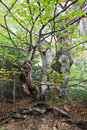 Gnarled beech tree Stock Image