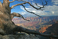 Gnarled Pine - North Rim of Grand Canyon Stock Image