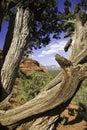 Gnarled tree in Sedona Royalty Free Stock Photos