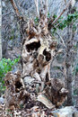 Gnarled tree trunk old in a fairy tail forest Royalty Free Stock Photo