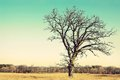 Gnarly Bare Branched Old Oak Tree Isolated in Country Royalty Free Stock Photo