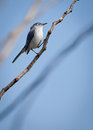 Gnatcatcher blue gray polioptila caerulea perched in a tree Stock Images