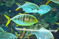 Gnathanodon speciosus black stripes yellow fish vertical vertical Stock Photos